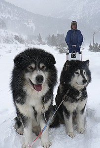 Cani di slitta a Nevache