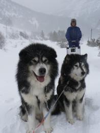 I cani di slitte aspettano la partenza